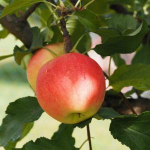 Яблоня 4-5лет с комом
