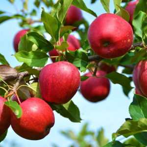 Яблоня однолетняя ОКС