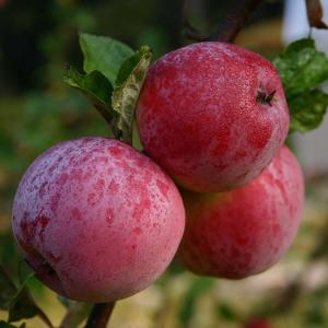 Яблоня однолетняя вконтейнере