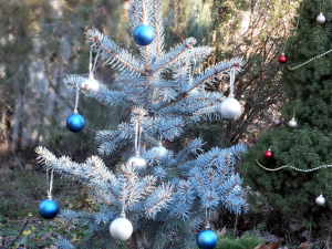 Ель голубая новогодняя с посадкой