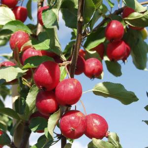 Яблоня Долго