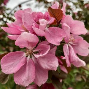 Яблоня декоративная Келси