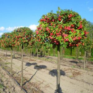 Яблоня декоративная Ред Сентинел