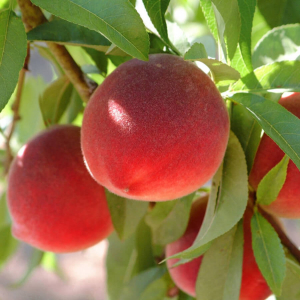 Персик 4-5лет с комом