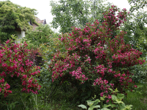 Вейгела цветущая Eva Rathke