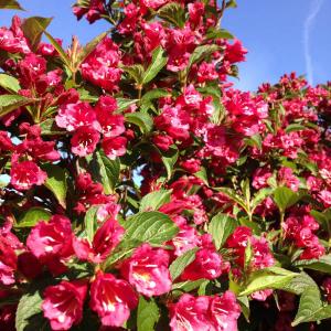 Вейгела цветущая Ева Ратке