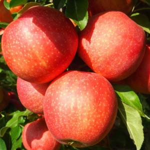 Яблоня Гала двухлетняя