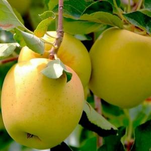 Яблоня Голден двухлетняя