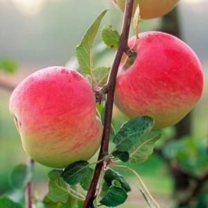 Яблоня Мельба двухлетняя