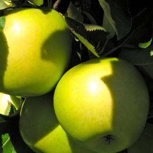Яблоня Мутсу двухлетняя