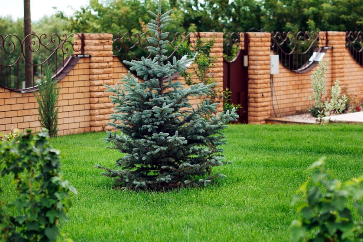 шаблону, елки на участке фото тут